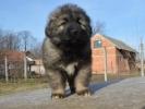 Šarplaninac, štenad i odrasli psi