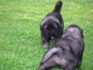 Šarplaninac, štenci i odrasli psi