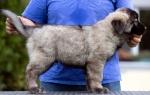 Šarplaninac štenci na prodaju