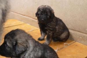 ŠARPLANINAC – štenci, odlični čuvari