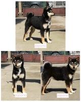 Shiba Inu štenci na prodaju