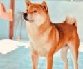 Shiba Inu, štenci