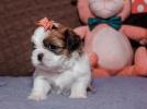 Shih-tzu trikolor prelepi štenci