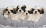 Ši-Cu (Shih-tzu) štenci izložbenog kvaliteta