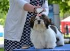 Ši –cu (SHIH TZU), žensko štene