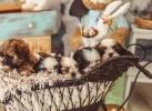 ŠI-CU štenci u ponudi