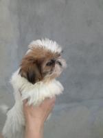 Ši-cu štenci