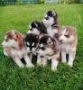 Sibirski haski i samojed štenci na prodaju