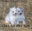 Sibirski Haski - štenci