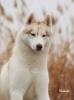 Sibirski haski štenci