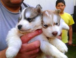 Sibirski Haski, štenci