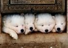 Sibirski Samojed štenci na prodaju