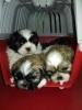 ŠICU (shihtzu) kvalitetni štenci