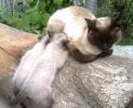 sijamska mačkica