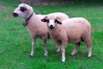 Sjenička jagnjad