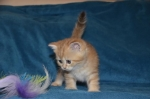 Škotski kratkodlaki mačići