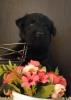 Škotski terijer i westi štenci na prodaju