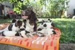 Springer Španiel, štenci