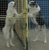 Srednjeazijski ovčar, štenci