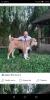 Srednjeazijski ovčar štene