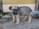 Srpski odbrambeni pas štenci