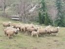 Stado ovaca na prodaju