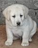 Štenci Labradora vrhunskog kvaliteta