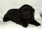 Stenci labradora, zute i crne boje