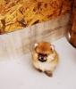 Stenci pomeranca Boo na prodaju