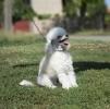 Stene Toy poodle