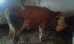 Steone krave
