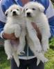 Svajčarski beli ovčar štenci