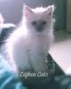 SVETE BIRME - cistokrvni macici