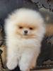 Teddy bear Pomeranac (Boo)