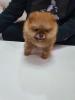 Teddy bear pomeranci