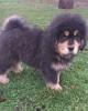 Tibetski Mastif vrhunsko,zdravo muško štene na prodaju!