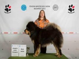 Tibetski Mastiff vrhunski stenci na prodaju