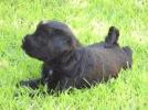 Tibetski terijer štenci na prodaju