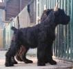 Veliki šnaucer vrhunski štenci