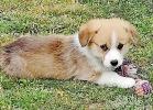Velški korgi - pembrok štenci
