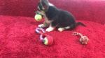 Velški korgi pembroke štene