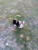 Velški korgi štenci