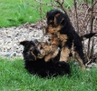 Velški terijer, živahni štenci