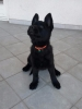 Vrhunski štenci crnih NEMAČKIH OVČARA