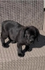 Vrhunski štenci - Labrador Retriver