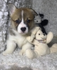 Welsh Korgi Pembroke štenci