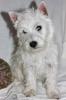 Westi i škotski terijer štenci na prodaju