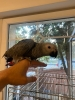Zako papagaj,rucno hranjen