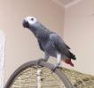 Zako papagaj