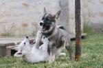 Zapadno sibirska lajka štenci